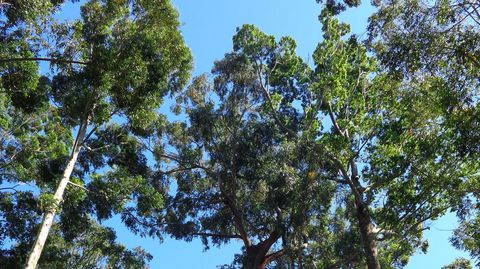 Varias especies de eucaliptos de gran porte comparten bosque en Monte Porreiro