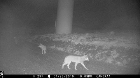 Ejemplar de lobo captado por una cámara de fototrampeo