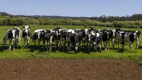 Unas vacas frisonas pastan en un prado