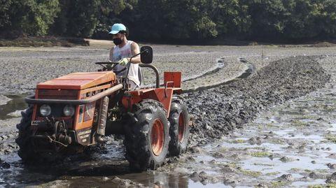 El tractor remueve el sedimento para facilitar la fijación de la cría de almeja