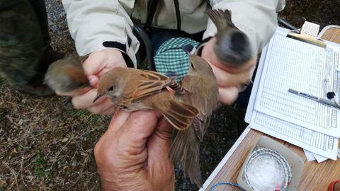 Medición de aves en unas jornadas de anillamiento organizadas en septiembre del 2019 en Ribas Pequenas, en el municipio de Bóveda