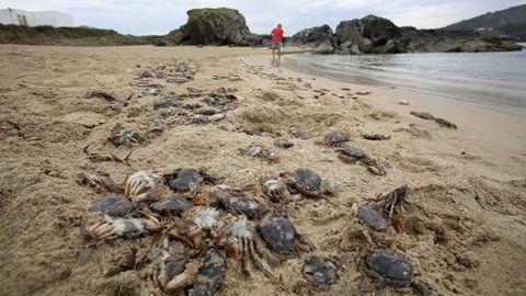 Miles de ejemplares de patexo yacen en la línea de marea del arenal de Valdoviño