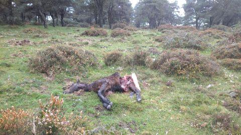 Un potro muerto por el ataque del lobo en la sierra de A Capelada, como denuncian los vecinos