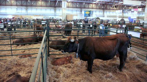 Imagen de archivo de unas vacas de raza autóctona en la feria