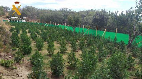 Plantación de marihuana en Jarandilla de la Vera, Cáceres