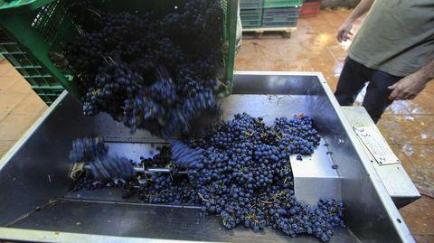 La vendimia se generalizará cuando las grandes bodegas autoricen la entrada de uva tinta