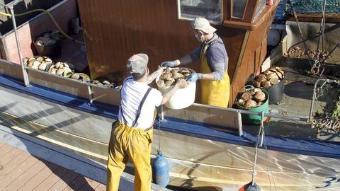 Descarga del bivalvo en el muelle de Ferrol durante la anterior campaña, finalizada en abril