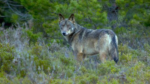 Imagen de un lobo avistado en la sierra de la Culebra, en la provincia de Zamora