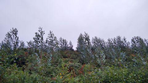 Eucaliptos jóvenes plantados en Tapia