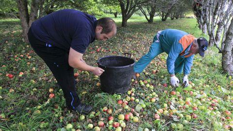 La manzana de suelo, la primera que se recolecta, se destina a la elaboración de vinagre o sidra achampañada