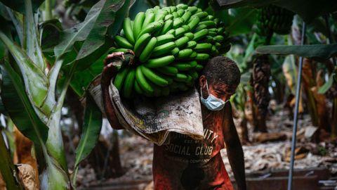 Un agricultor lleno de ceniza recoge un racimo de plátanos antes de que la lava del volcán de Cumbre Vieja llegase a las plantaciones.