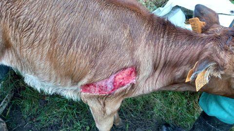 Imagen de un ternero supuestamente atacado por los lobos