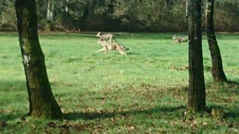 Lobos, como estos de Chantada, recorren los montes de buena parte de Galicia