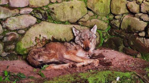 El lobo que se escondió en una casa en ruinas en Cuntis en mayo