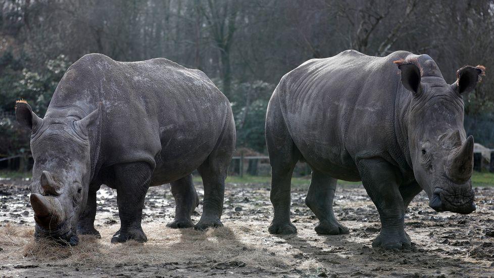 El rinocerente abatido vivía con otros dos ejemplares en el zoológico de Thoiry