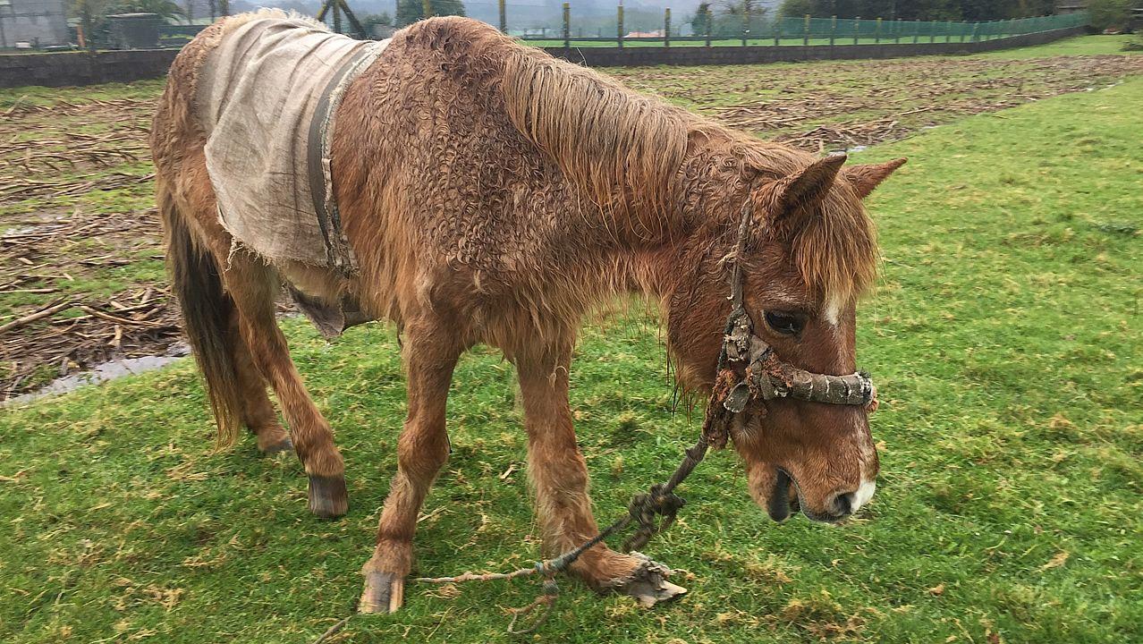 Una yegua se muere de hambre y frío en Santiago.Campaña contra el maltrato animal