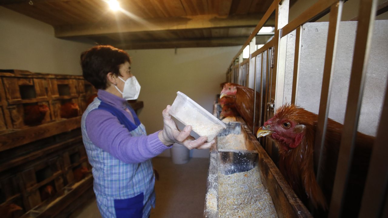 Oliva Souto, alimentando los capones en los últimos días de la ceba, poco antes de matarlos para luego poder enviarlos