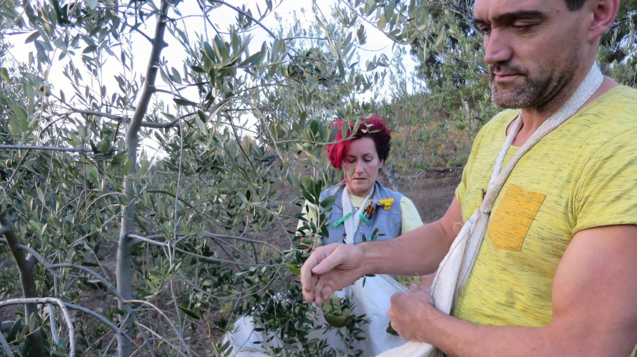 Recogida de la aceituna en el valle de Quiroga. El programa comprende recorridos por los olivares de comarca