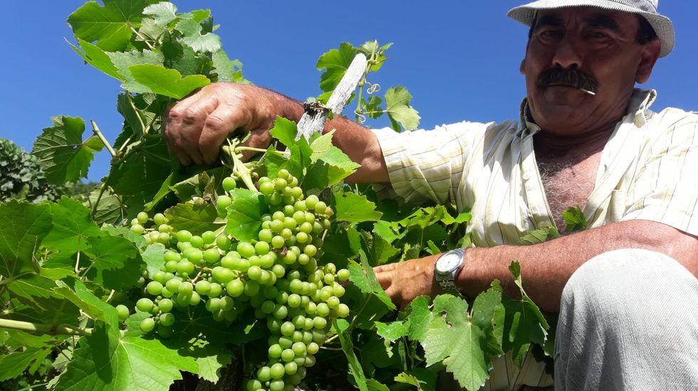 Un viticultor muestra los racimos en su viña, en una foto tomada ayer en la ribera de Diomondi