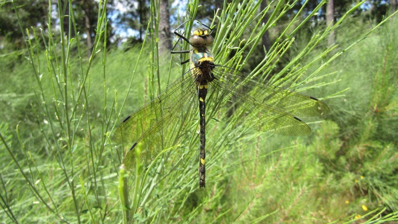 El río Cabe uno de los pocos hábitats  que existen en toda Europa de la Macromia splendens, una rara especie de libélula