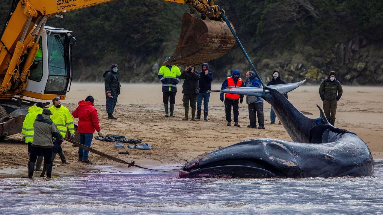 Momento del rescate de la ballena varada en Tapia