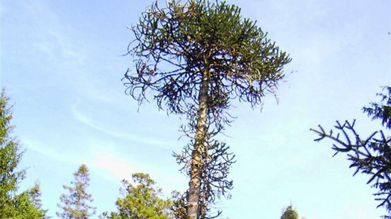 ¿Cuál es el mejor árbol de Europa?.Miguel Antoñanzas, presidente de Viesgo