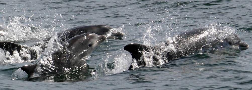Un grupo de delfines juguetean en la ría de Vigo. Aunque muchos cetáceos pasan cerca de la costa, algunas grabaciones son de diez kilómetros de distancia.
