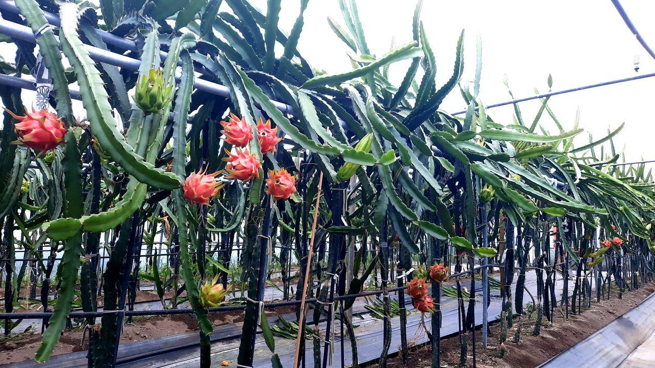 Empieza la recogida de la patata de A Limia.Plantación de pitayas en plena producción en Morás, en el concello de Xove