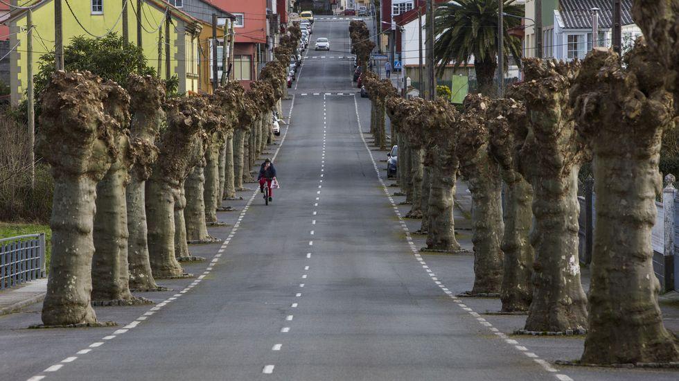 Plataneros en la Avenida de Caión, A Laracha