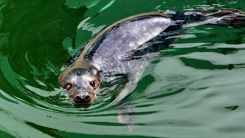La foca Orzán se recuperó en A Illa.Los biólogos del Cemma fotografían los arroaces cuando se adentran en la ría de Pontevedra.