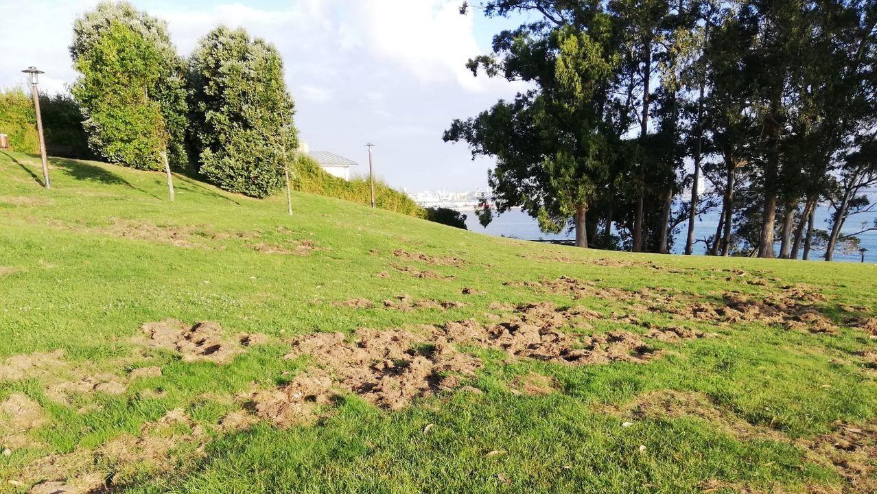 Destrozos de los jabalíes en zonas verdes de Oleiros