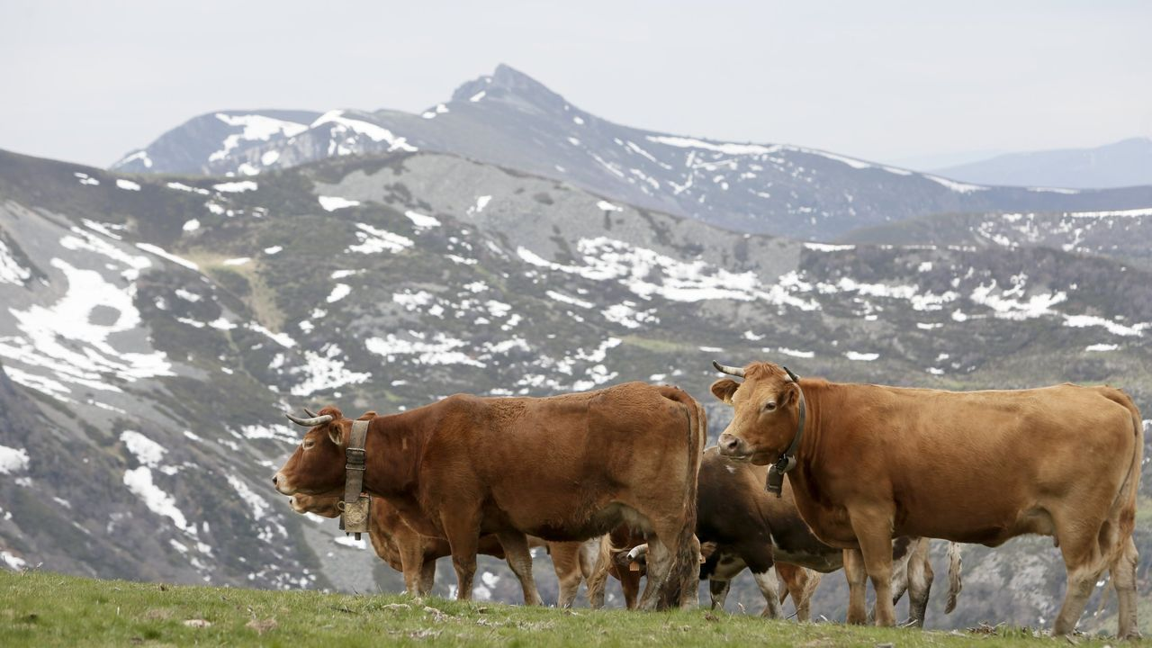 «Vendemos a carne a toda España por Internet».Vacas de ganaderos de Cervantes que practican la trashumancia
