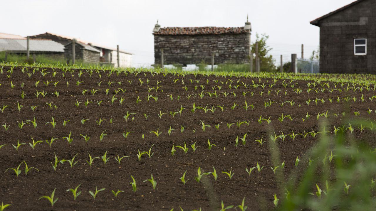 Imagen de una plantación de maíz en el entorno de una aldea de Dumbría