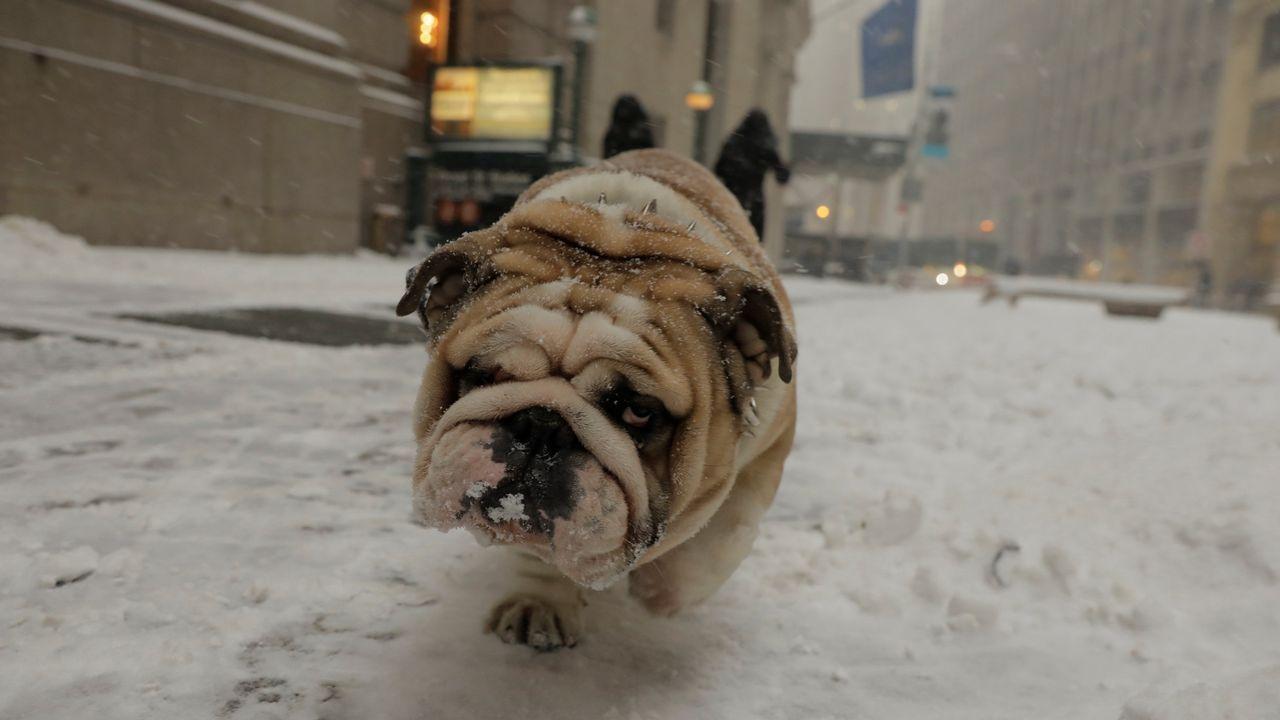 Un bulldog, durante la tormenta de nieve en las calles de Nueva York