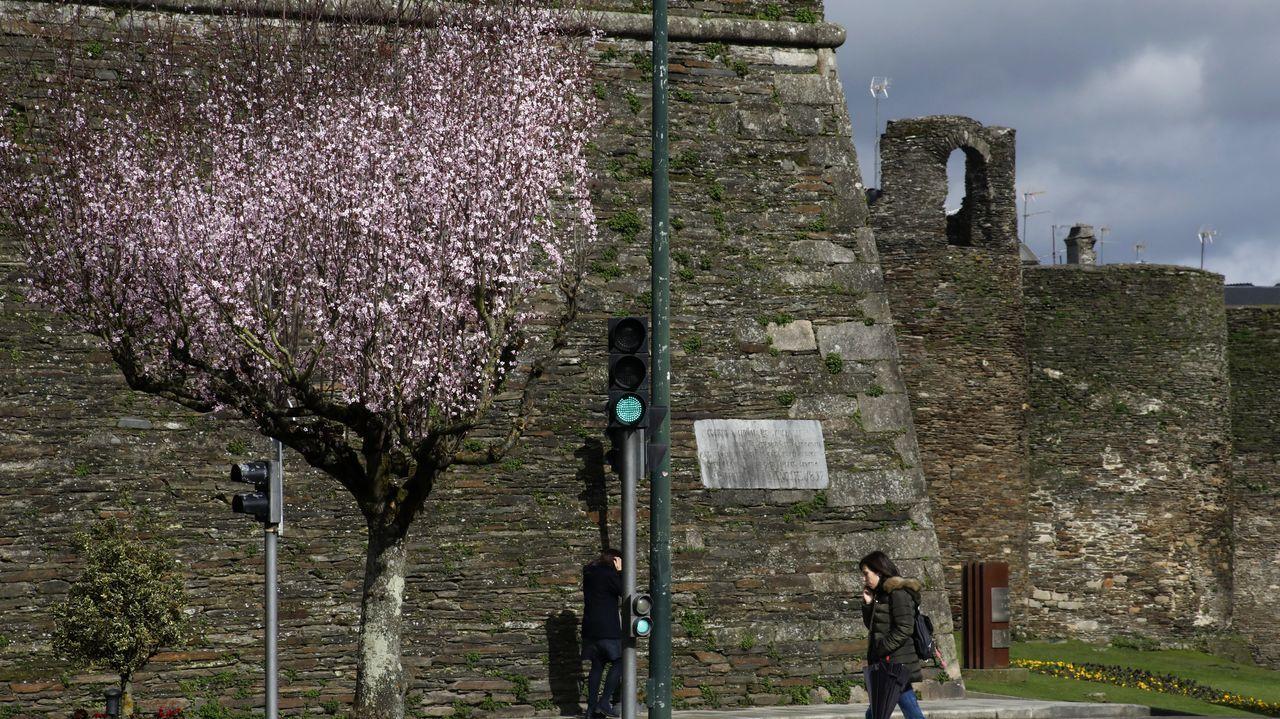 Cerezos japoneses junto a la Muralla de Lugo