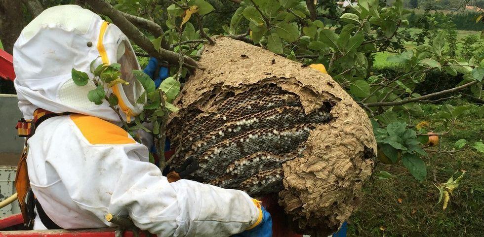 Isabel García Tejerina junto a los representantes de ONG.Un operario retira un nido de avispa asiática