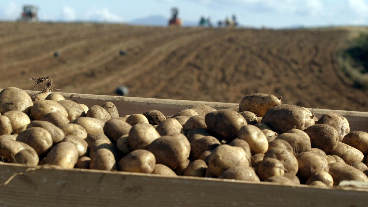 Patatas de variedad agria recolectadas en Xinzo de Limia
