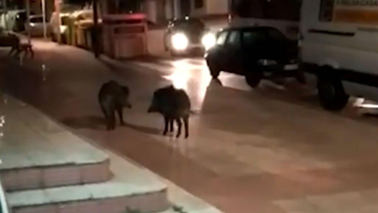 Graban a una pareja de jabalíes saliendo de un comercio y paseando por la calle.Colas en el hospital de Burela para hacer test de coronavirus