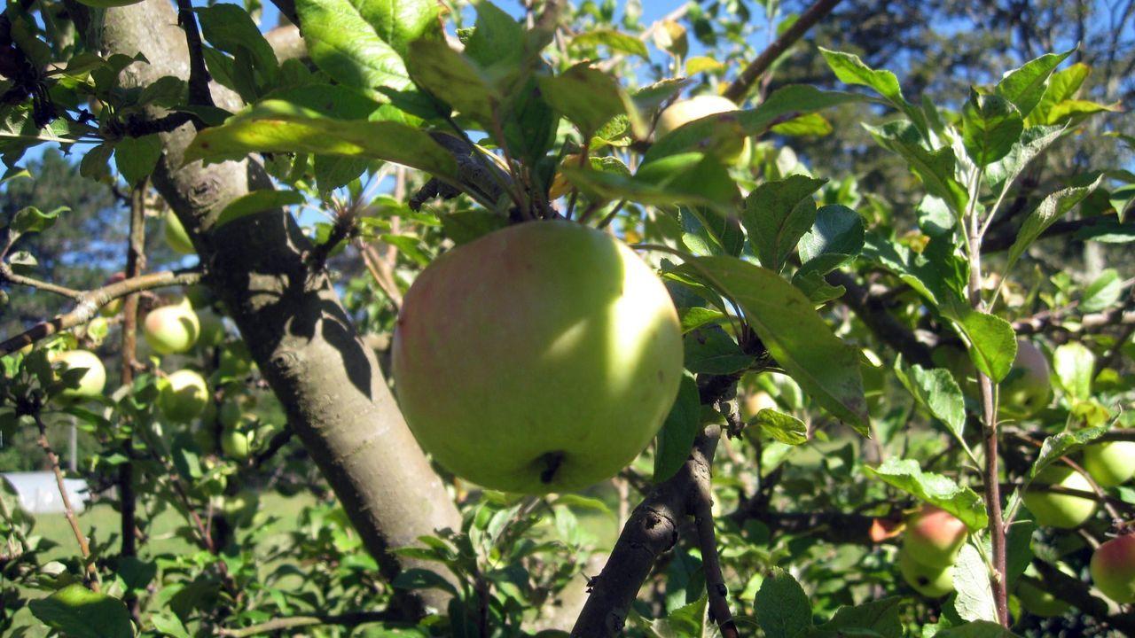 Manzanas de una plantación de Roupar (Xermade) que se usarán para sidra