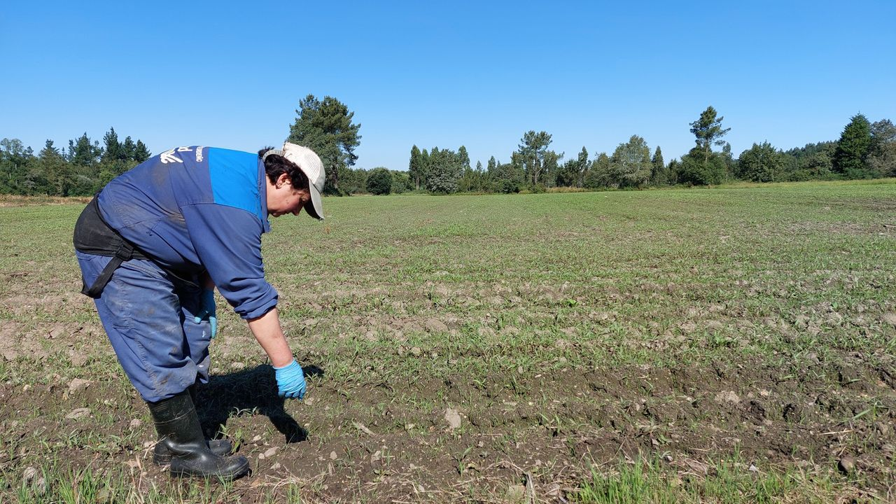Esther Rodríguez, empleada de la SAT Arealba, en una de las fincas en las que se abandonó la cosecha de maíz por los sucesivos ataques de jabalí