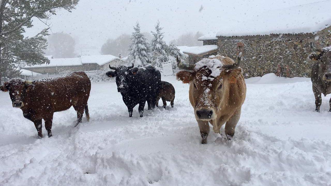 Vacas cubiertas de nieve