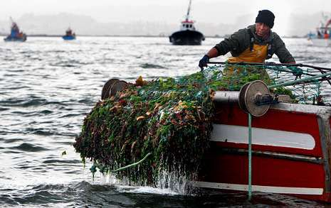 Casi medio centenar de embarcaciones iniciaron ayer la campaña de la vieira.