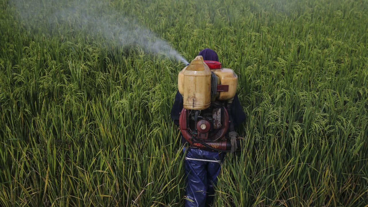 Un operario echa inecticida en campos de arroz de Malasia
