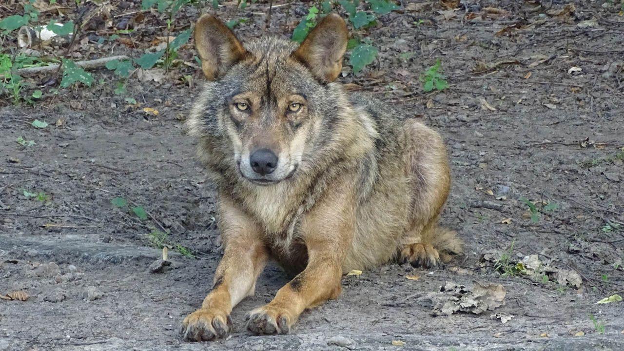 Un ejemplar de lobo.Un ejemplar de lobo