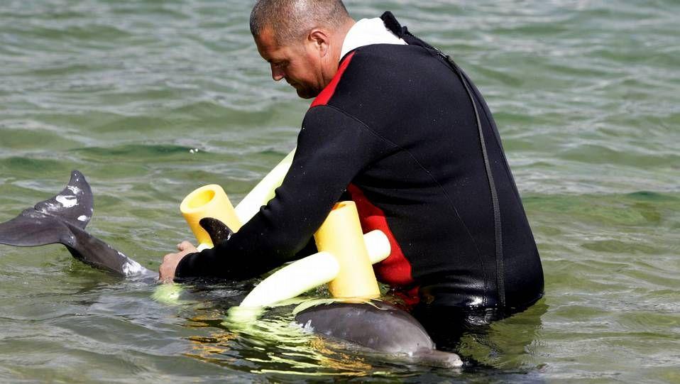 Lucha para devolver un delfín al mar.Un buzo desentierra la pieza localizada hace una semana.