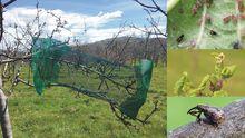 Un experimento comparando ramas de manzano excluidas de las aves mediante jaulas con ramas abiertas en los mismos árboles demostró que las aves insectívoras reducen considerablemente la cantidad de insectos plaga (a la derecha arriba: pulgón ceniciento Dysaphis plantaginea; a la derecha abajo: gorgojo de la flor Anthonomus pomorum) y sus daños (a la derecha centro, brotes dañados por pulgón ceniciento) en el manzano