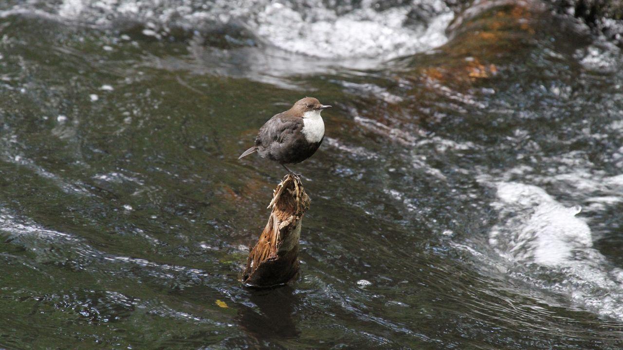 El mirlo acuático vive en la zona pese a sus deficientes condiciones ambientales