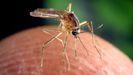 Mosquito transmisor del virus del Nilo