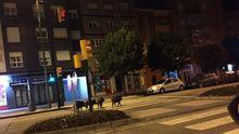 Una familia de jabalíes se pasea por Gijón durante el toque de queda