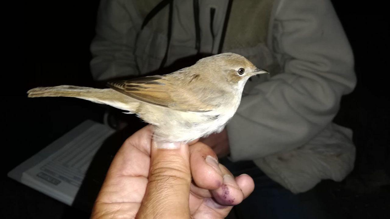 Curruca zarcera o papuxa común (Sylvia communis)